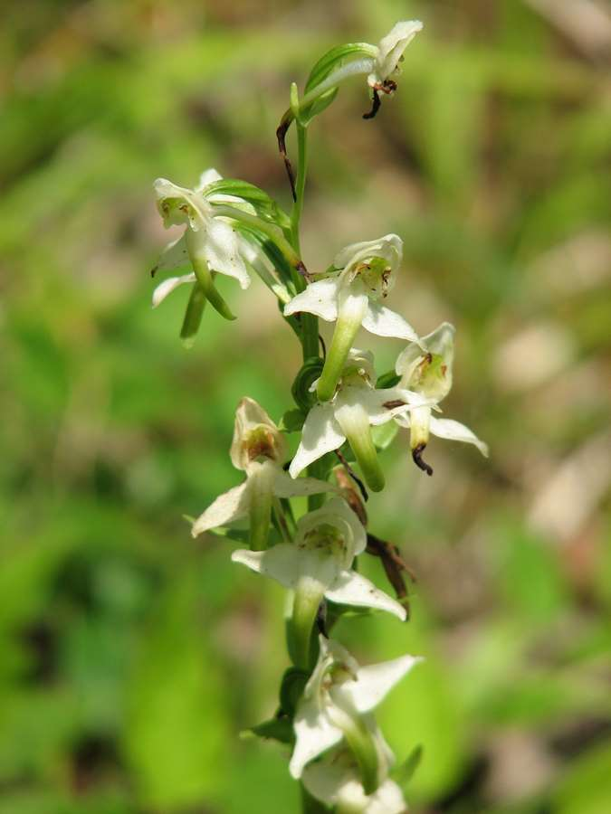 Orchis verdâtre (Platanthera choranta)